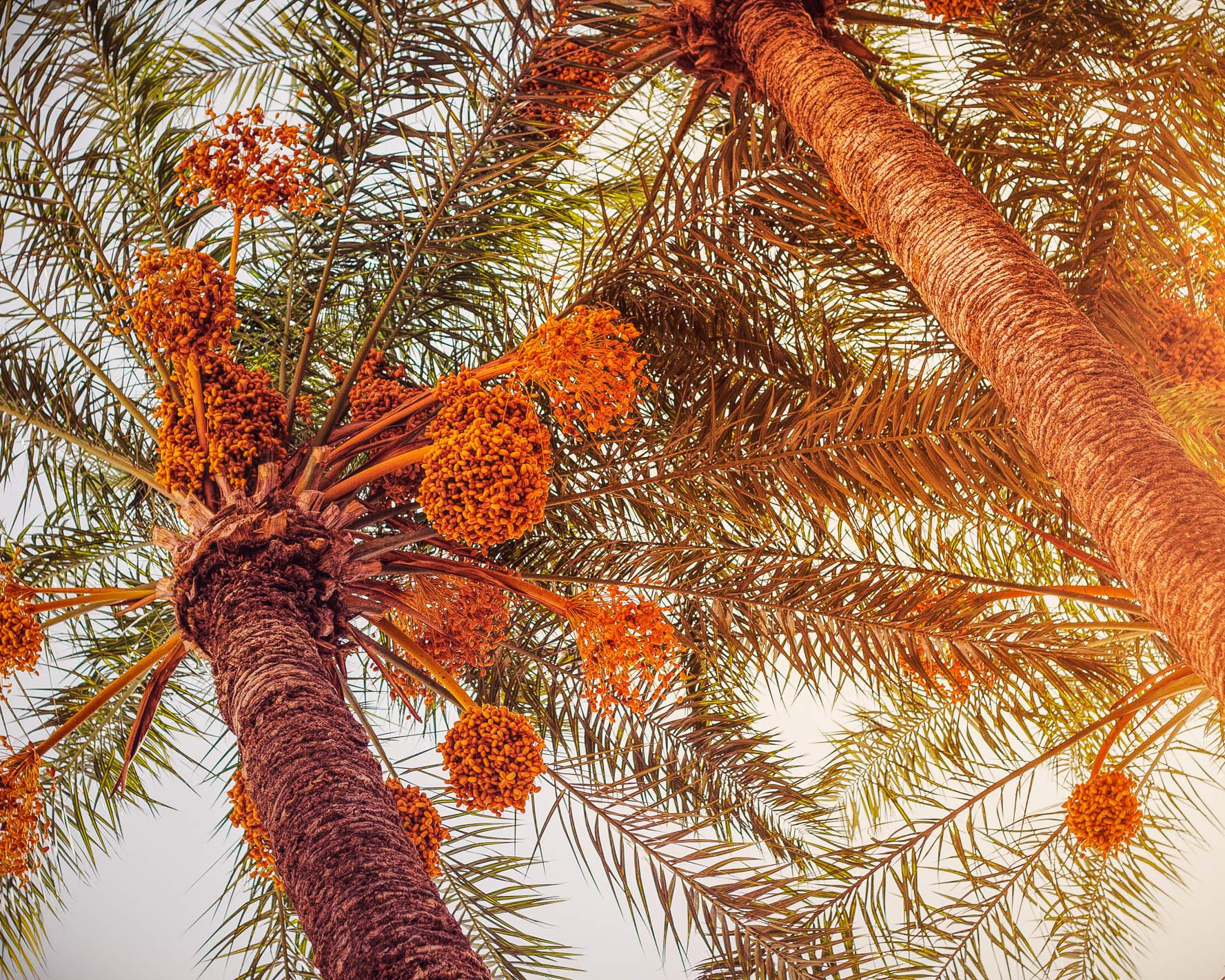 Zwei gigantische Dattelpalmen voller Früchte im Garten des Großwesir Palastes von Marrakesch