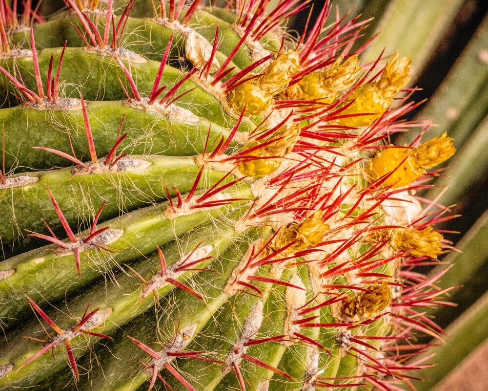 Farbenfroher Großer Feuerfaß Kaktus als Makroaufnahme