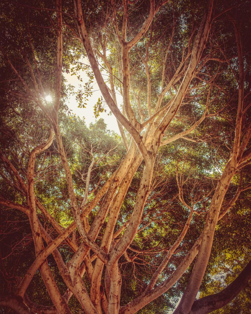 Von Sonne erleuchtete Baumkrone eines Ficus Benjamin