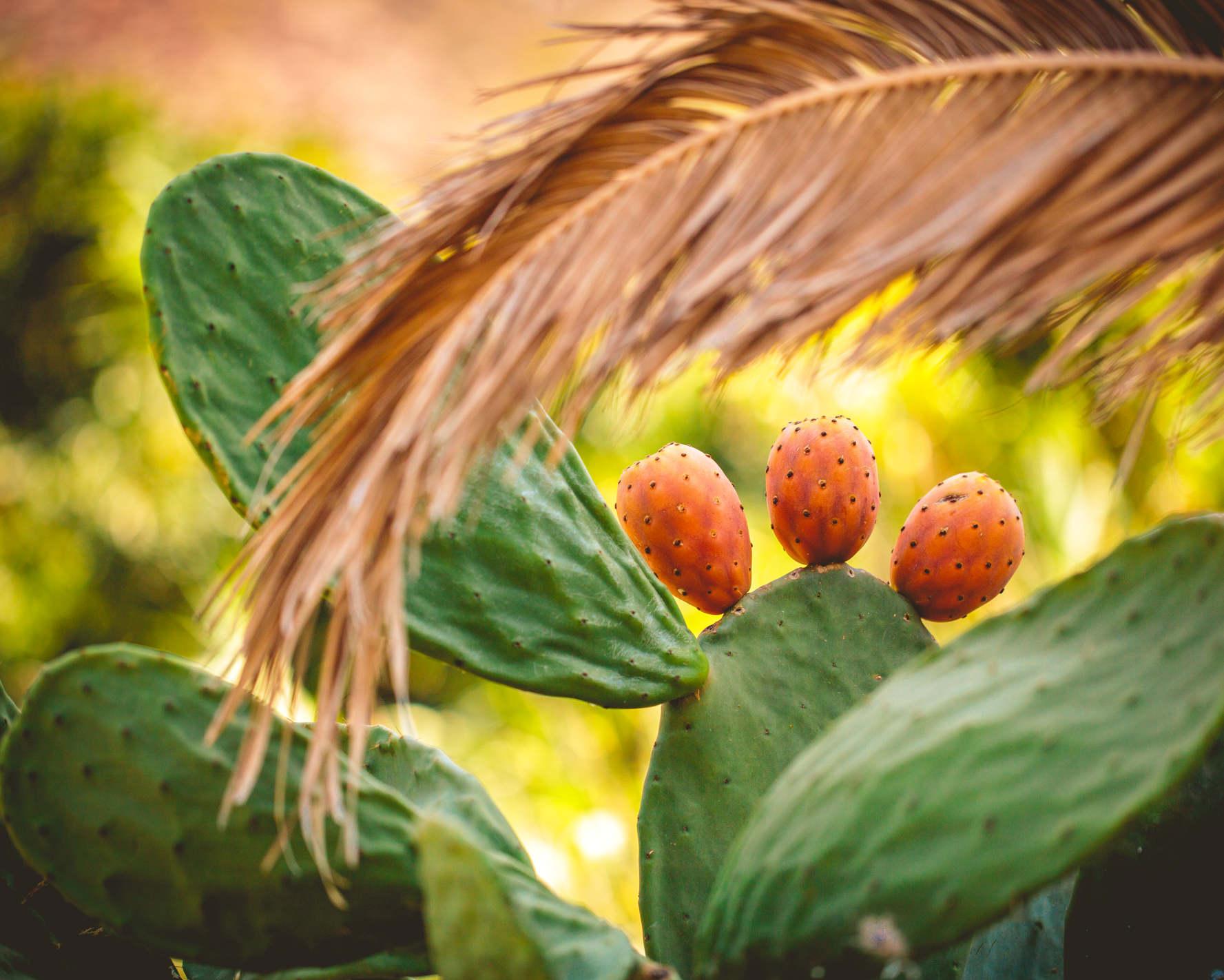 Einige bunte, reife Kaktusfeigen am Stamm