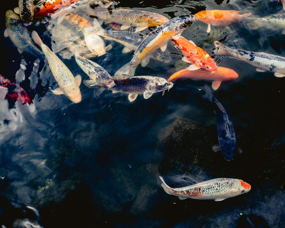 Farbenfrohe Koi-Karpfen schwimmen durch ruhiges Gewässer an der Wasseroberfläche