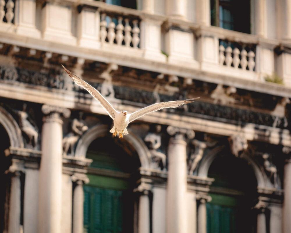 Eine Möwe fliegt vor den weissen Marmorfassaden am Markusplatz in Venedig als nachhaltiger Kunstdruck auf Echtholz in 60x90cm von Stephan Böhm