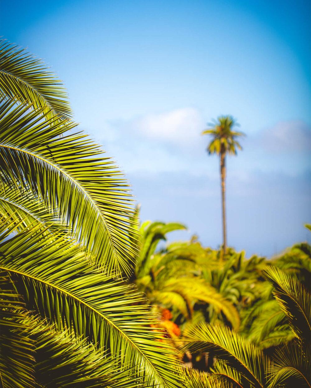 Ein Palmenwald so weit das Auge reicht, ein besonders großes Exemplar überragt alle anderen