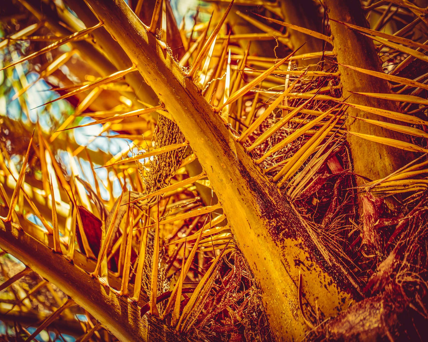 Baumkrone einer Palme mit Dornen in kräftigen Orangetönen
