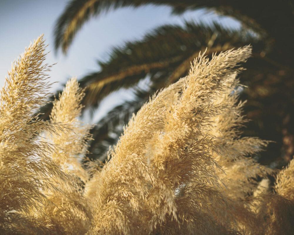 Üppiges Pampasgras wiegt sich vor Palmen im Wind