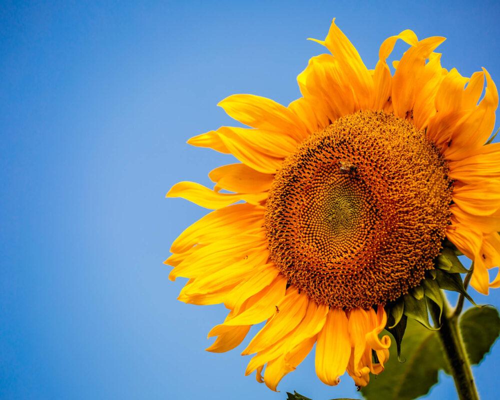 Eine leuchtende Sonnenblume vor kräftig blauem Himmel