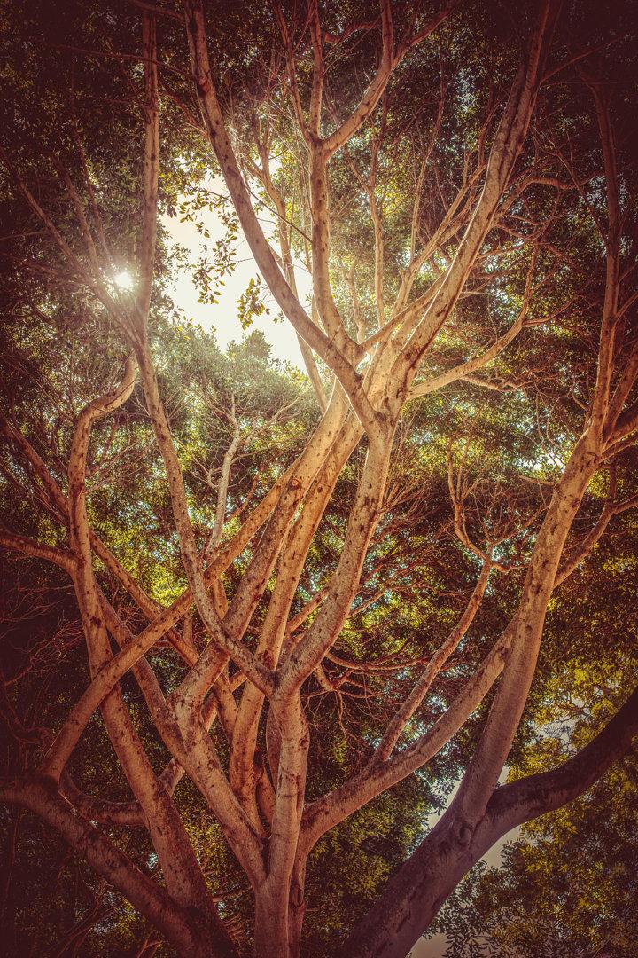 Gigantischer Ficusbaum auf den Kanaren